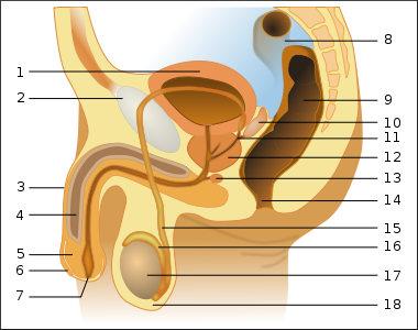 Schema mužského urogenitálního traktu